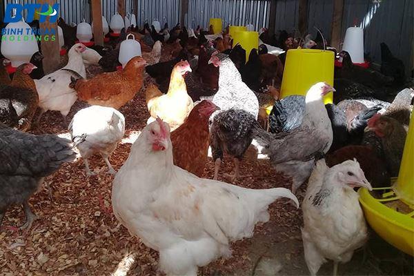 Mua máng ăn cho gà ở đâu?